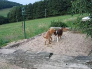 Bacardi und eine Australian Sheperd Hündin